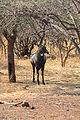 Nilgai at Gir Forest.jpg