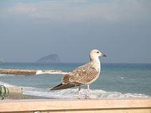 Un immaturo di Gabbiano reale mediterraneo sulla spiaggia di Noli