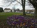 Northbourne, crocuses - geograph.org.uk - 1182665.jpg