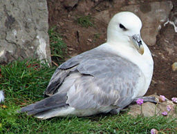 Northern Fulmar scotland RWD1