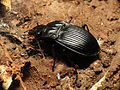 Notched-mouth Ground Beetle (14952593305).jpg
