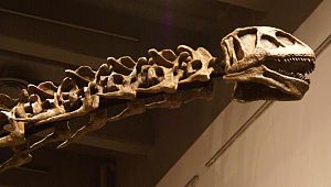 "Nurosaurus - A close-up of the head of ""Nurosaurus qaganensis""."