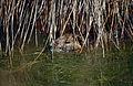 Nutria (Myocastor coypus) (14921285086).jpg