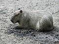 Nyíregyháza Zoo, Hydrochaeris hydrochaeris-2.jpg