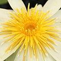 Nymphaea ampla-IMG 4575.jpg