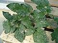 Oïdium sur Feuilles de Plants de Tomate.JPG