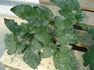 English: Powdery Mildew on a tomato plant Fran...