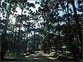 O Pinheiro-do-Paraná ou Araucária (Araucaria angustifolia) é encontrado com abundância ao longo da estrada dentro do Parque Estadual também conhecido como Horto Florestal. - panoramio.jpg