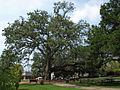 Oak at Faulker State-Fairhope Sept 2012.jpg