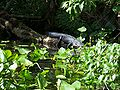 Ocala Silver River alligator01.jpg