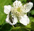 Oedemera nobilis. Male - Flickr - gailhampshire (4).jpg