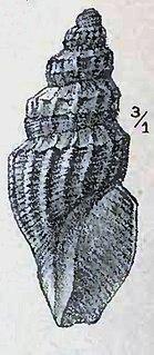 <i>Oenopota obliqua</i> species of mollusc
