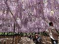 Okazaki-Park-Fujimatsuri-1.jpg