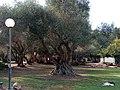Olive tree in Kibbutz Magal.jpg