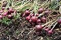 Onion crop.jpg