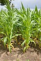 Ontario-Corn-field 02.jpg