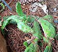 Opuntia humifusa 3.jpg