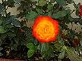 Orange roes1.jpg