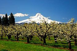 Orchard and Mt. Hood (Hood River County, Oregon scenic images) (hooDA0021).jpg