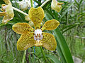 Orchids in Thailand 2013 2749.jpg