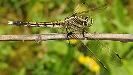 Orthetrum albistylum (young female) (3).JPG
