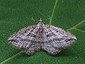Orthonama vittata - Oblique carpet - Ларенция перевязанная (40915058072).jpg