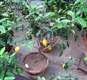 Florentine citron - The Florentine hybrid