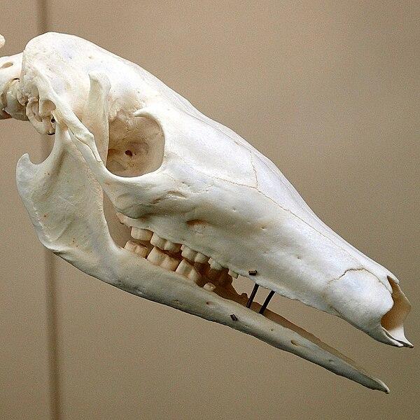 фото зубов трубкозуба который мечтал