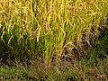 Oryza sativa Ear rice Stugaru roman rice IMG 4234.jpg