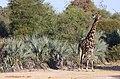Oshikoto Region, Namibia - panoramio (11).jpg