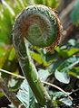 Osmunda japonica 002.jpg