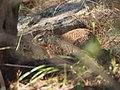 Otospermophilus variegatus rupestris.jpg