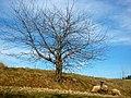 Ovečky na Stohoch - panoramio.jpg