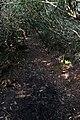 Overgrown footpath, Whitehough Wood - geograph.org.uk - 402774.jpg