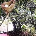 Ovo de beija-flor no ninho, vista inferior. Situado às margens da Lagoa Azul, Igarapé-Açu -PA.jpg