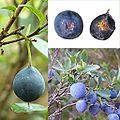 Owoce Borówka bagienna.jpg