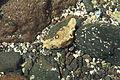 Pájara - FV-2 - Punta del Roquito - Aplysia dactylomela 01 ies.jpg