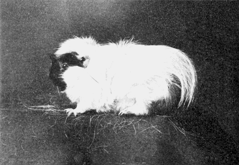 File:PSM V67 D210 An imperfectly long haired guinea pig.png