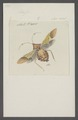 Pachylis - Print - Iconographia Zoologica - Special Collections University of Amsterdam - UBAINV0274 040 04 0012.tif