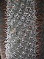 Pachypodium lamerei 2014-10-12 02.jpg