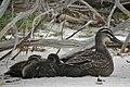 Pacific Black Duck Ducklings.jpg