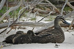Pacific Black Duck Ducklings.jpg