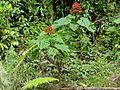 Pagoda Plant (Clerodendrum paniculatum) (15501671985).jpg