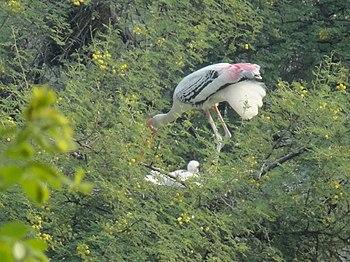 Painted Stork, Bharatpur sanctury 04.jpg