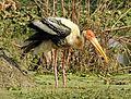 Painted Stork Mycteria leucocephala by Dr. Raju Kasambe. DSCN7364 (4).jpg