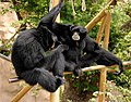 Pair of Siamangs (5213304237).jpg