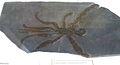 Palaeoisopus problematicus.jpg