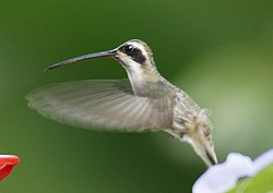 Pale-bellied Hermit2.jpg