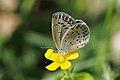 Pale Grass Blue (Pseudozizeeria maha) (15522109802).jpg