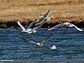 Pallas's Gull (Larus ichthyaetus) (37055362444).jpg